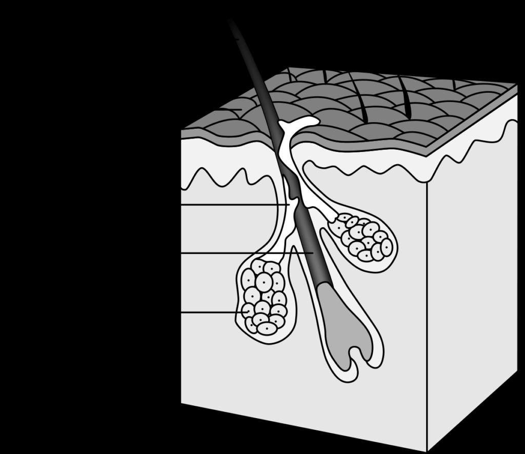 Coupe de follicule pileux pour illustrer le fonctionnement de la pousse du cheveux, et ensuite de l'effet de l'huile de Santal sur la pousse des cheveux.