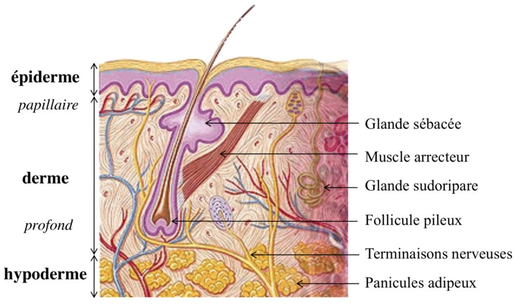 Peau sèche amande hydratation trois couches épiderme derme hypoderme